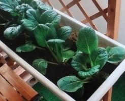 小松菜家庭菜園