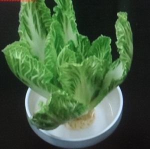 白菜ならぬ緑菜