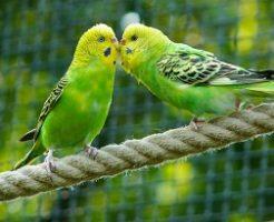鳥、インコ