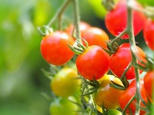 ミニトマト、プチトマト