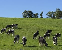 牛、北海道